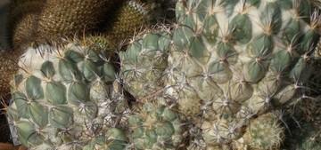 Корифанта калипанская, Coryphantha calipensis, описание, фото