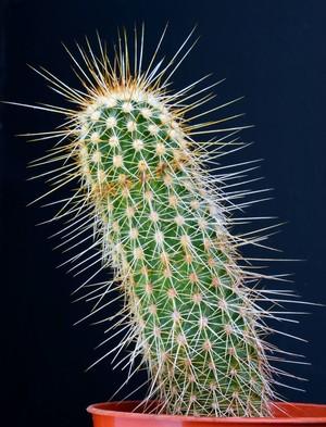Кактус Эхиноцереус апачский - Echinocereus apachensis, описание и фото