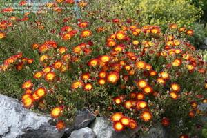 Дрозантемум прекрасный (Drosanthemum speciosum). Род Дрозантемум (Drosanthemum, семейство Аизовые) насчитывает около 100 видов, произрастающих в Южной и Юго-Западной Африке. Дрозантемумы - низкорослые растения с сочными ползучими стеблями.
