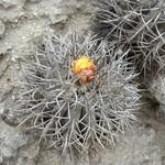 Копиапоя крупнокорневая — Copiapoa megarhiza