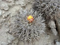 Копиапоя крупнокорневая, Copiapoa megarhiza, копиапоя, фото