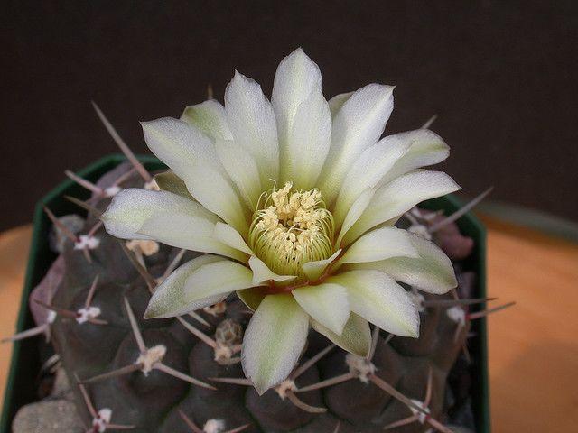 Гимнокалициум виды кактуса уход в домашних условиях