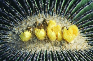 Кактус Эхинокактус Грузона - Echinocactus grusonii, описание и фото