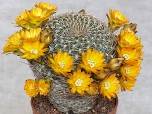 Кактус Сулькоребуция короткоцветковая - Sulcorebutia breviflora, описание и фото