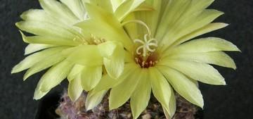 Кактус Frailea amerhauseri, описание и фото