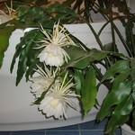 Эпифиллум остролепестный — Epiphyllum oxypetalum