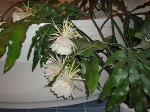 Кактус Эпифиллум остролепестный - Epiphyllum oxypetalum, описание и фото