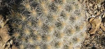 Кактус Эхиноцереус соломенный - Echinocereus stramineus, описание и фото