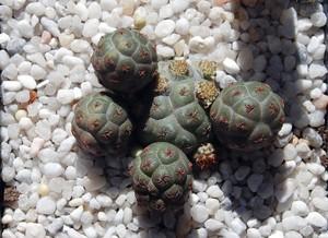 кактус Майуэниопсис, Maihueniopsis bonnieae