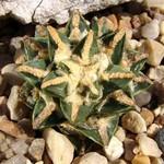 Ариокарпус притупленный подвид гребенчатый — Ariocarpus retusus subsp. pectinatus