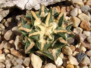 Ariocarpus_retusus_ssp_pectinatus