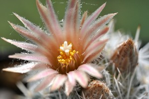 Кактус Эскобария Шнеда - Escobaria sneedii, описание и фото