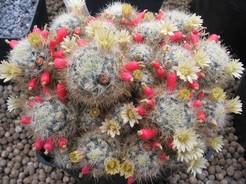 Мамиллярия, кактус, Mammillaria prolifera