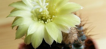 Кактус Frailea angelesii, описание и фото
