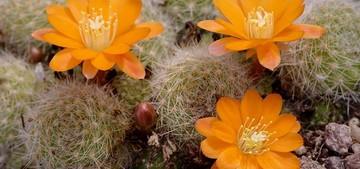 Ребуция, пулвиноса, Rebutia, pulvinosa, Ritt. Et Buin, кактус, фото, описание, уход
