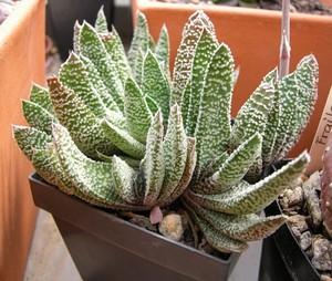 Гастерия Бородавчатая (Gasteria Verrucosa)    Гастерия Бородавчатая. Листья размещены супротивно, образуя двурядную розетку. Они сочные, длиной 15-20 см, желобчатой формы, серо-пепельные или матово-зеленоватые, густо покрыты выпуклыми бородавками.