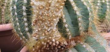 Buiningia brevicylindrica