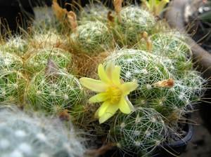 Маммиллярия отростковая , кактус, Mammillaria surculosa