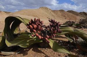 Вельвичия удивительная (Welwitschia mirabilis) - единственный представитель рода. Встречается в пустыне Намиб. Вельвичия - растение крупное, двудомное, поэтому получить семена в комнатных условиях почти невозможно.