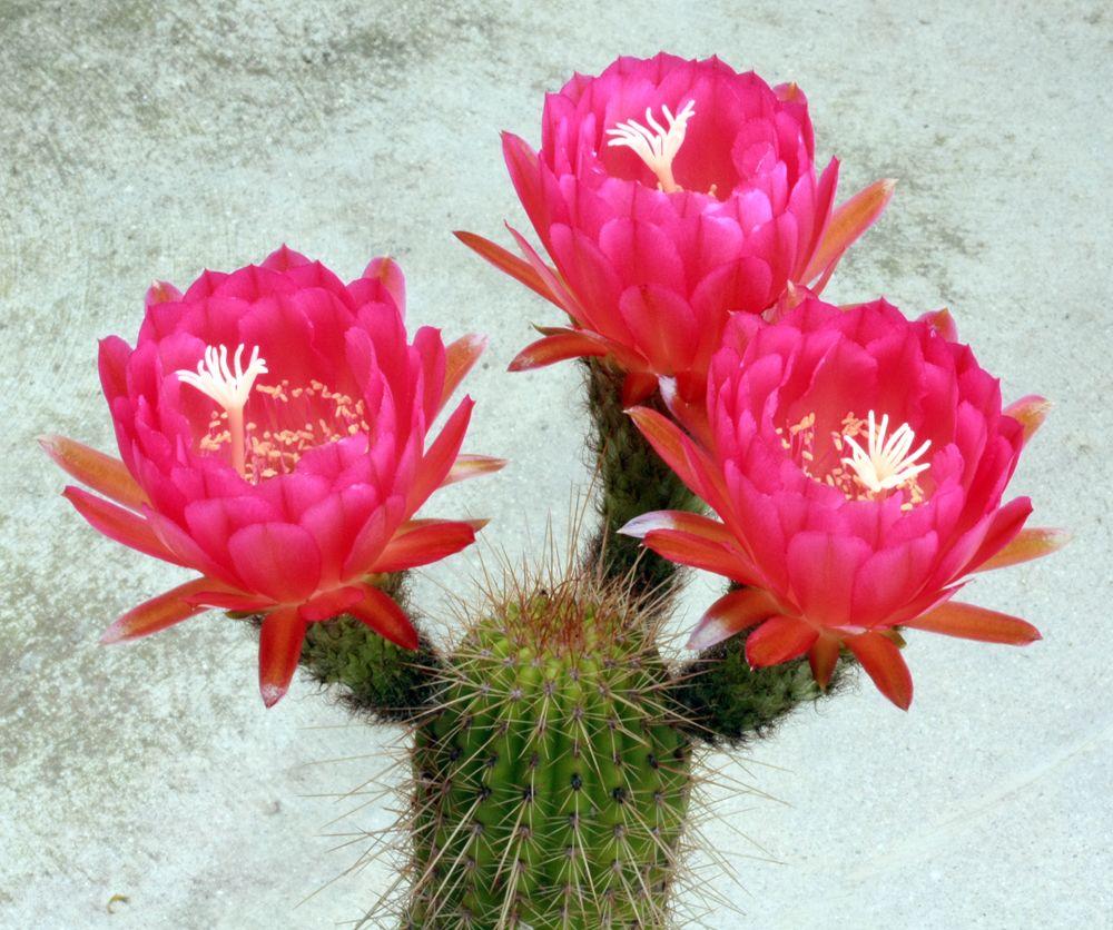 украсить кактус цветущий определить сорт виды с фото оказалось достаточно