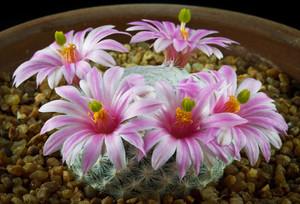 Мамиллярия Эрреры - Mammillaria herrerae. Уход, описание и фотографии вида кактуса