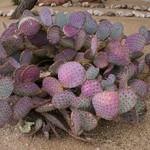 Опунция фиолетовая — Opuntia violacea