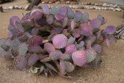 Опунция фиолетовая, Opuntia violacea