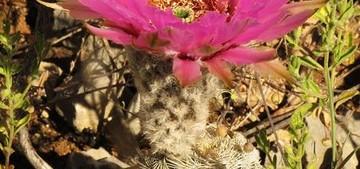 кактус Эхиноцереус Рейхенбаха - Echinocereus reichenbachii, описание и фото