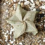 Астрофитум крапчатый — Astrophytum myriostigma