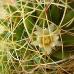 Мамилярия camptotricha — Mammillaria camptotricha