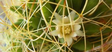 Мамилярия camptotricha - Mammillaria camptotricha. Уход, описание и фотографии вида кактуса Мамилярия camptotricha - Mammillaria camptotricha