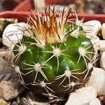 Дискокактус незамечательный — Discocactus pseudoinsignis