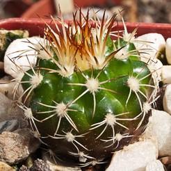 Discocactus-pseudoinsignis