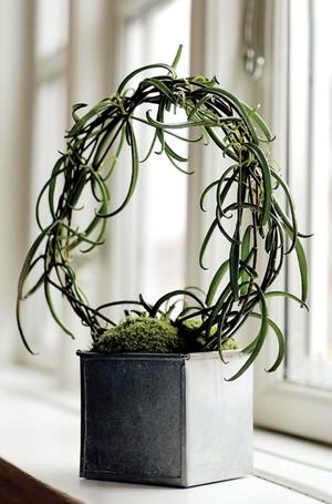 Бриофиллум Буварда (Bryophyllum Beauverdii)    Единственный вид бриофиллума, который выращивают как ампельное растение. Сочные тонкие побеги достигают длины 60 см. Листья очень узкие, темно-зеленые или буроватые. Цветки пятнистые, черно-фиолетовые.