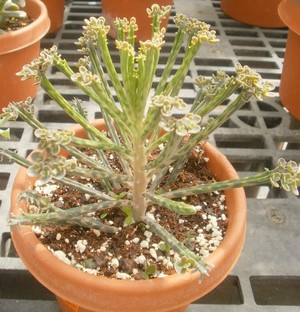 Бриофиллум Трубкоцветный / Трубчатоцветковый  (Bryophyllum Tubiflorum)    Сидячие, узколинейные, пятнистые по краю листья собраны в мутовки. Детки образуются в верхней части листьев. Цветки крупные, красные.
