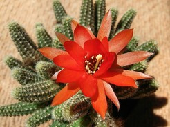 Кактус Хамецереус Сильвестра - Chamaecereus silvestrii, описание и фото