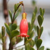 Каланхоэ Мангина (Kalanchoe Manginii) - фото и описание Стебли тонкие, длиной около 30 см, с возрастом повисающие. Листья темно-зеленые, сочные, овальные, край ровный, на верхушке слегка волнистый. Цветки красные, в соцветии образуются выводковые почки. Существуют гибридные сорта с разнообразной окраской цветков: Tessa, Wendy, Mariko, Jingle Bells, Dream Bells, Mirabella. Растения рекомендуется опрыскивать, поскольку от влажности воздуха зависит длительность цветения.