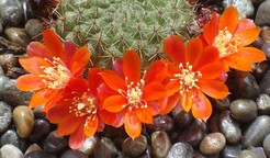 Ребуция, деминута, Rebutia, deminuta, кактус, фото, описание, уход