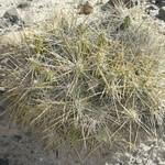 Майуэниопсис — Maihueniopsis domeykoensis