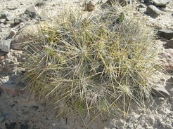 кактус Майуэниопсис, Maihueniopsis domeykoensis