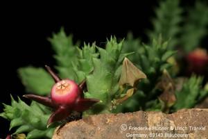 Дювалия Пилланса (Duvalia Pillansii)    Побеги короткие, длиной около 2,5 см, со слабо выраженными гранями, зеленые, по бокам красноватые. На гранях расположены единичные толстые зубцы. Цветки многочисленные, мелкие, лепестки треугольные, глубоко бороздчатые, зеленые снаружи и пурпурно-коричневые внутри, по краям с красноватым опушением.