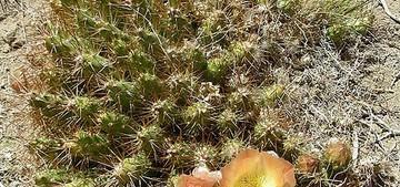 Майуэниопсис крупноцветковый, Maihueniopsis grandiflora