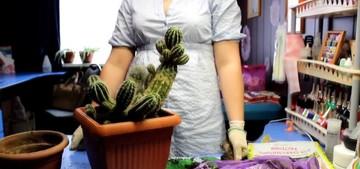 Размножение, посев и пересадка кактуса. Размножать кактусы можно как генеративным (половым) путем - семенами, так и вегетативным - детками, черенками и прививкой. Пересадка и посев кактуса требует знаний и навыков, которые можно получить только на практике пересадки и посева.