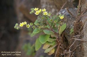 Аихризон точечный (Aichryson punctatum (C.Sm.) Webb & Berthel.)    Небольшое суккулентное растение, высотой до 15-40 см. Побеги зеленовато-коричневые, опушенные, волоски прозрачные белые. Листья ромбовидные, средне-зеленого цвета, слабоопушенные, край листа городчатый, черешок листа длинный, собраны в розетку.