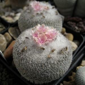 Кактус Эпителанта маломерная - Epithelantha micromeris, описание и фото