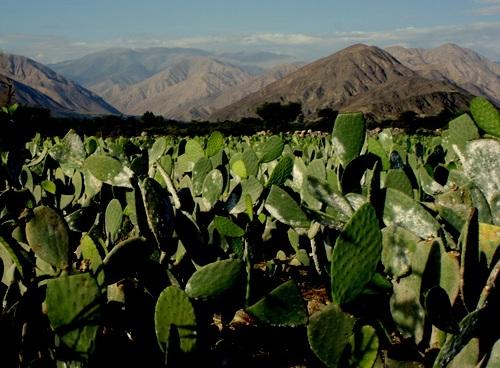 Кактусы пустыни - опунции, цереусы, и многие другие кактусы развиваются успешно в гористых и приземистых пустынях Америки.
