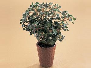 Аихризон Домашний. Миниатюрный, компактный сильно ветвящийся кустарник высотой 10-15 см, с ломкими сочными стеблями. Листья темно-зеленые, с приятным запахом. Цветет очень обильно желтыми цветками, собранными в малоцветковые соцветия.