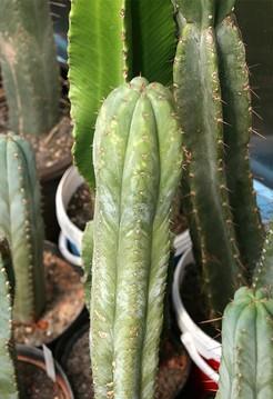 Кактус Трихоцереус крупнореберный - Trichocereus macrogonus, описание и фото