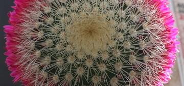 Маммиллярия колючейшая, Mammillaria spinosissima