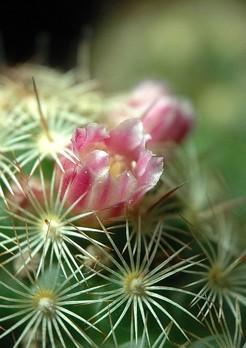 Маммилярия удлиненная, Mammillaria elongata